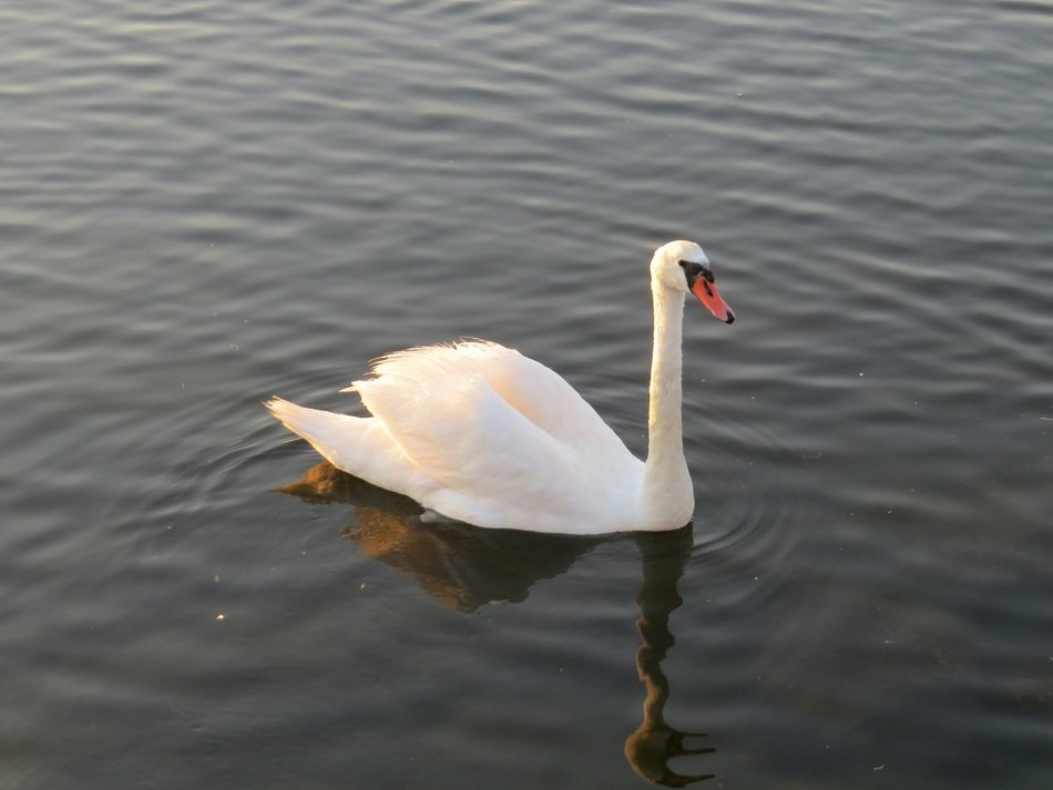 graceful lonely swan