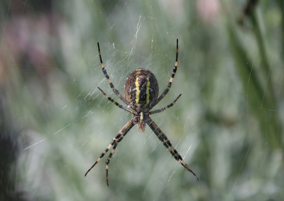 wasp spider on the web