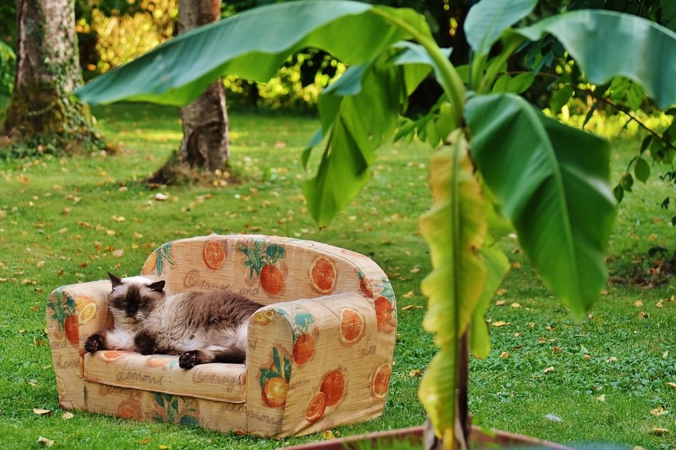 Siamese cat is lying on a sofa in the garden