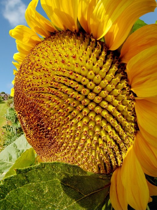 ripening sunflower