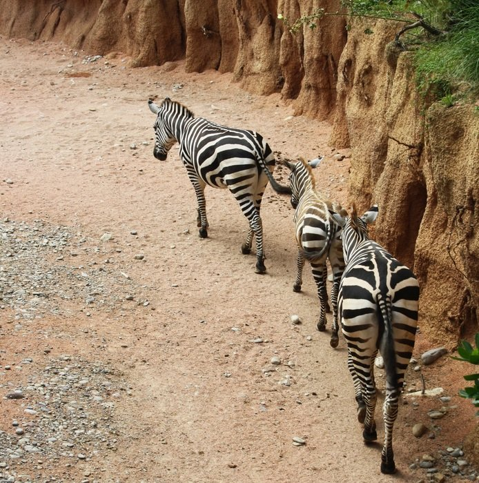 zebras in the natural park