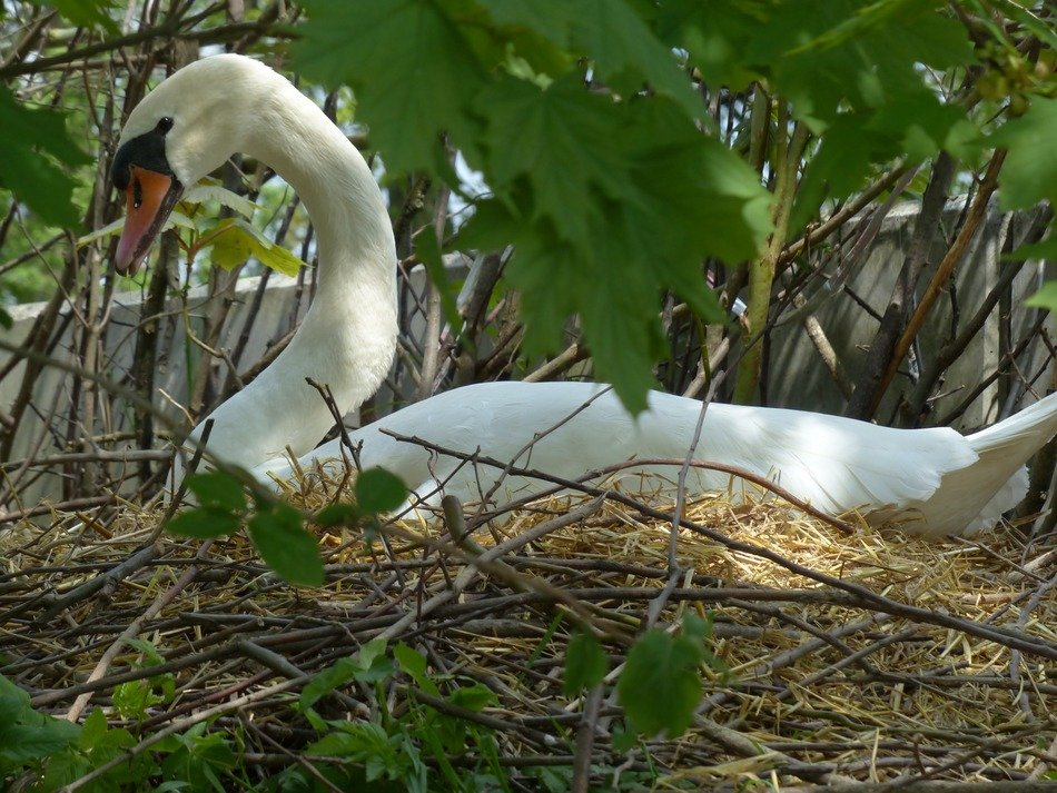nesting graceful swan