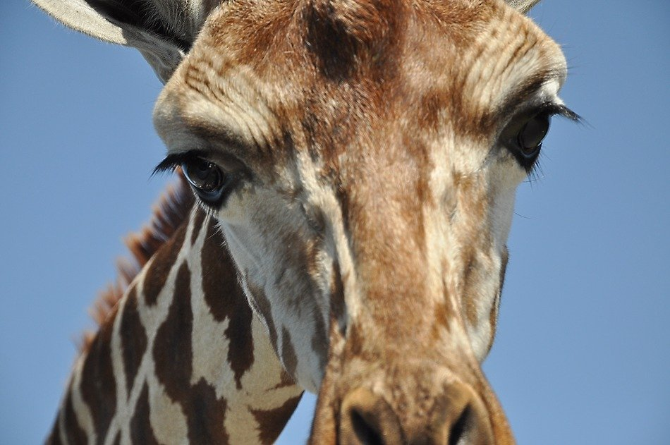 head of a giraffe on a background of blue sky close-up