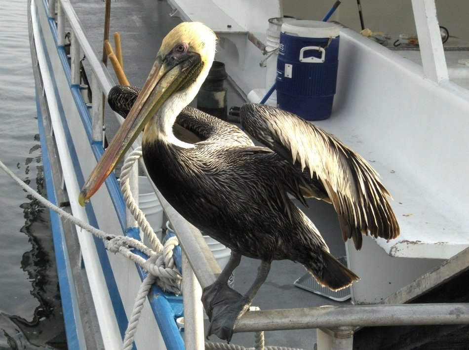 pelican on the boat