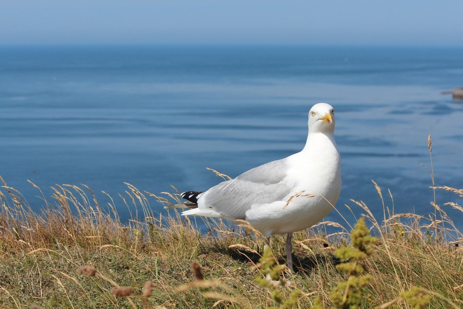 seagull in Helgoland
