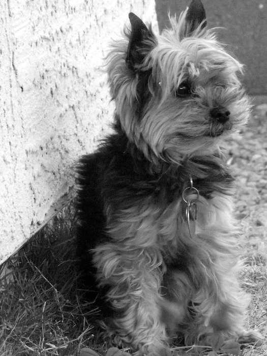 black and white picture of yorkshire terrier dog