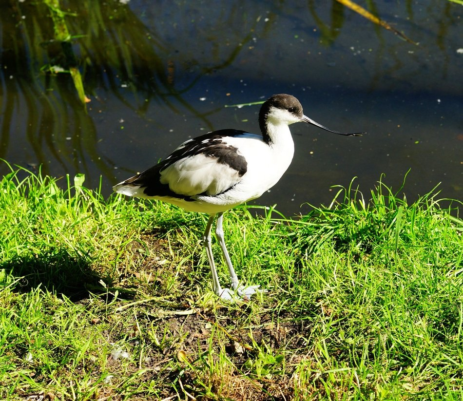 black and white bird with long legs on the green shore