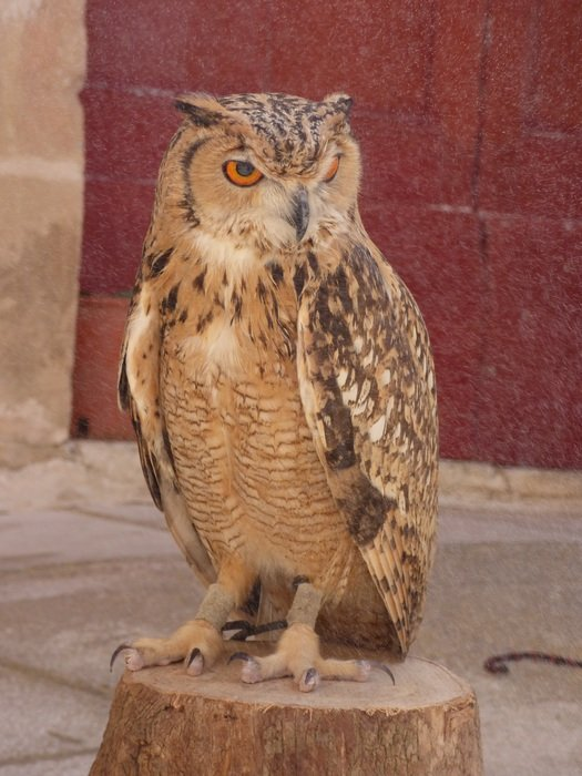 european eagle-owl