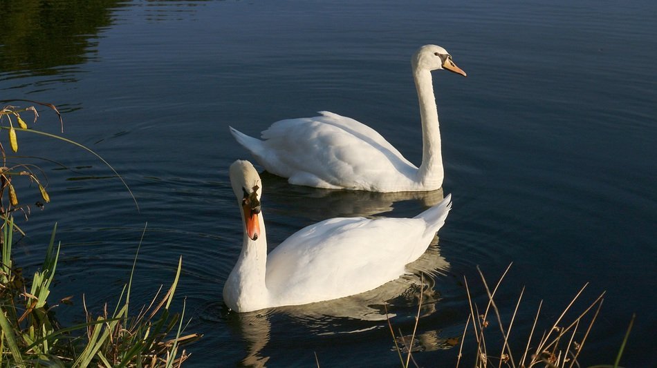 graceful couple of swans