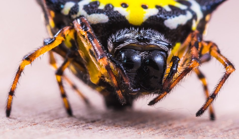 closeup of an yellow spider