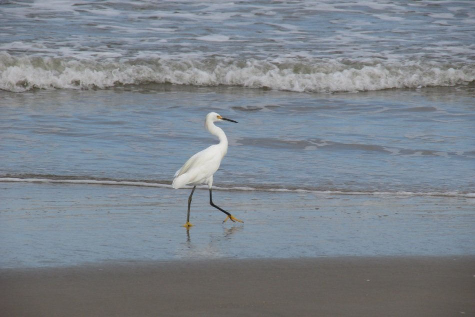 pride heron on the beach