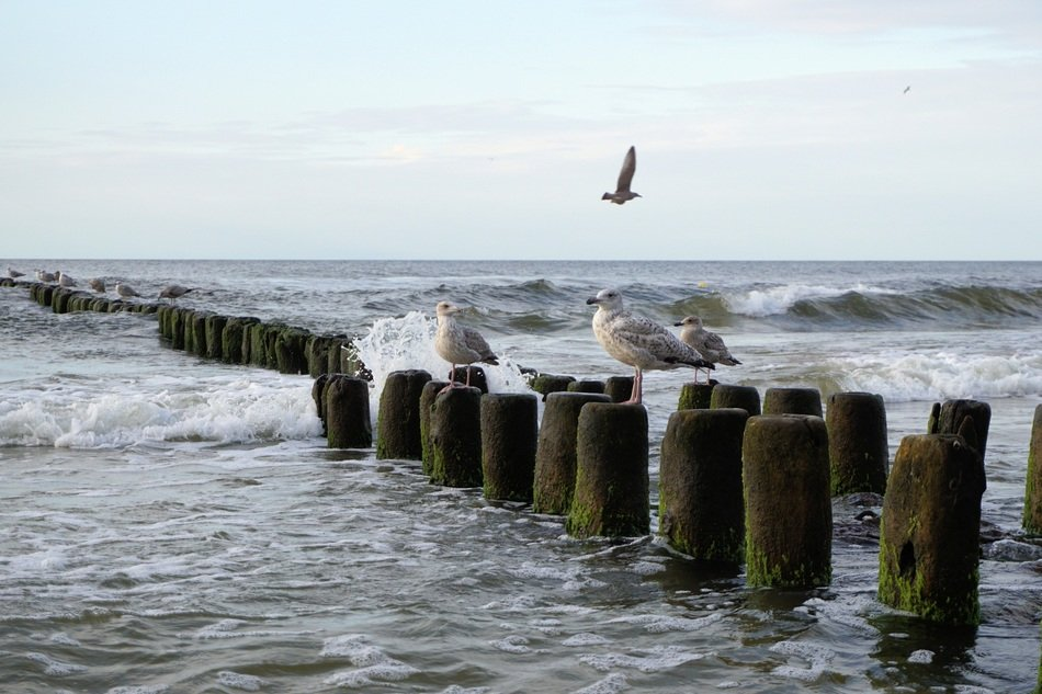 seagulls on the piles in Baltic Sea