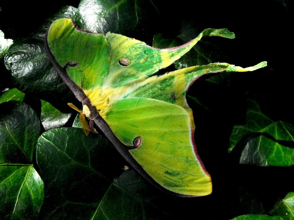 luna moth, exotic green moth in nature