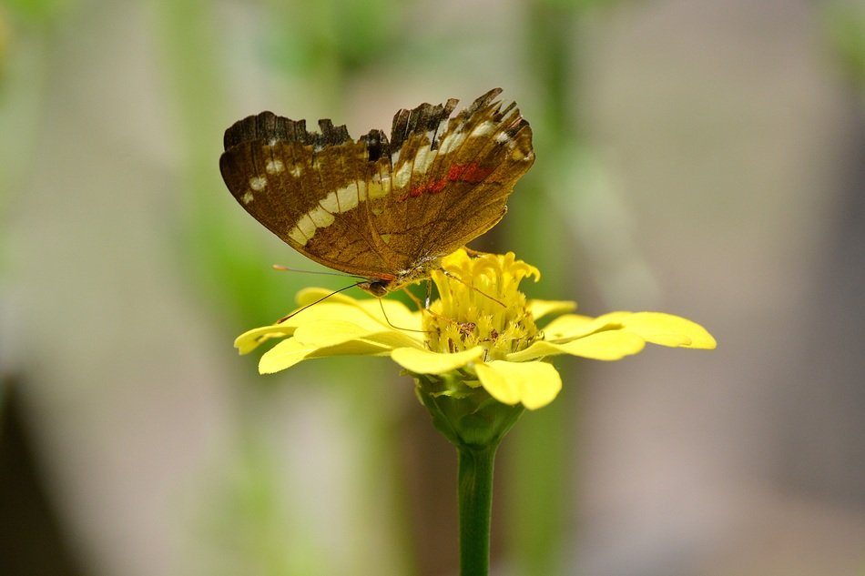 brown butterfly on the yellow flower