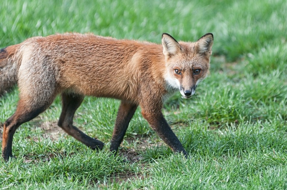 foraging red fox