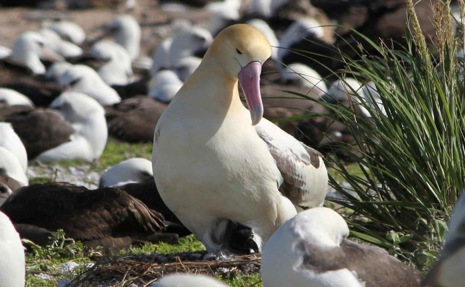 albatross on the beach