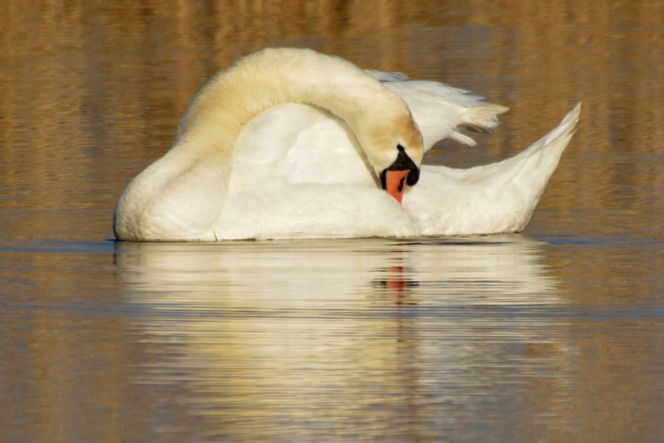 whooper swan on the lake