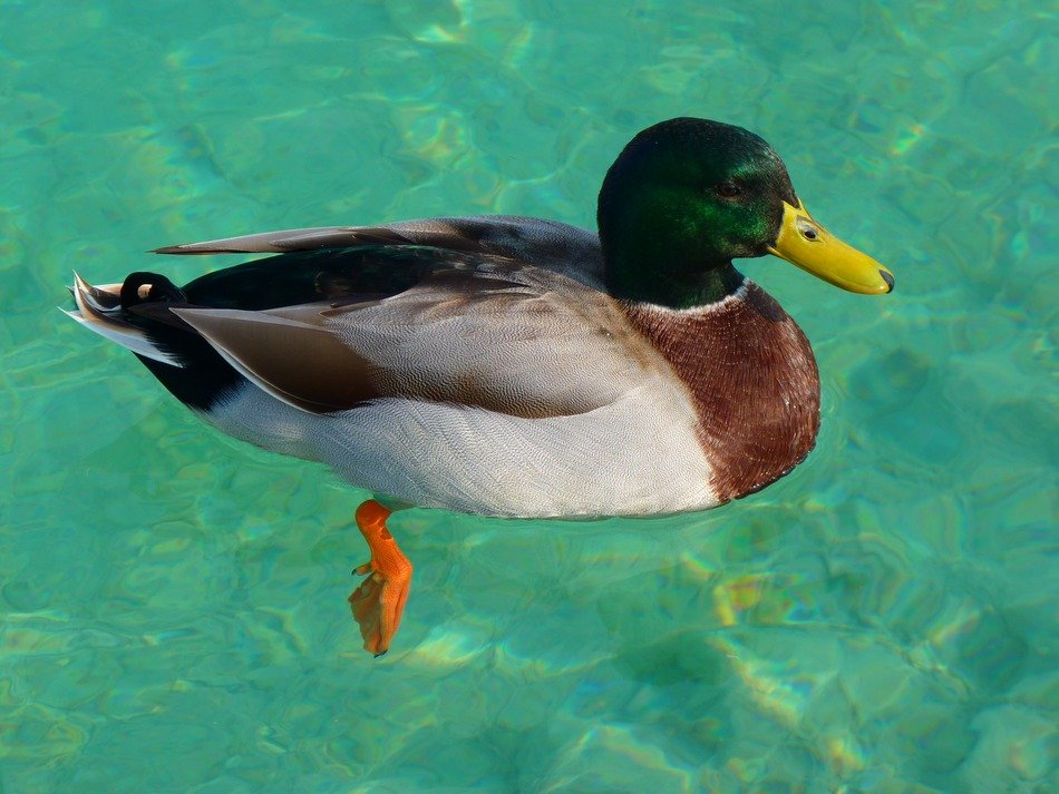 mallard on the blue water