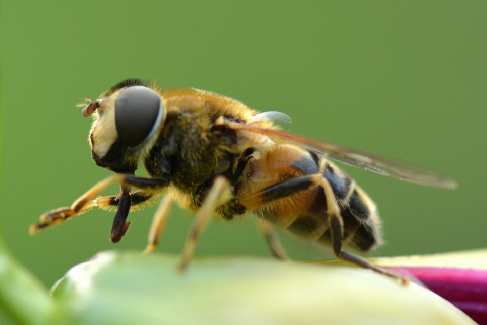 closeup of a bee on the green background