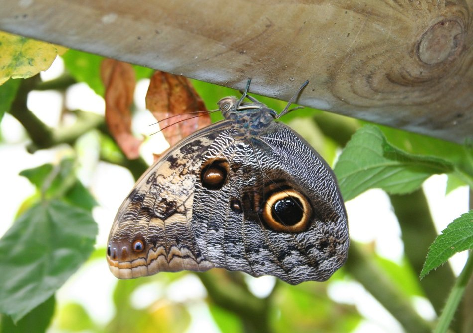 butterfly with eyespots