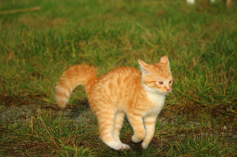 frolicking red kitten on the meadow