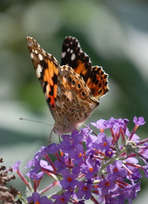 painted lady on the flower