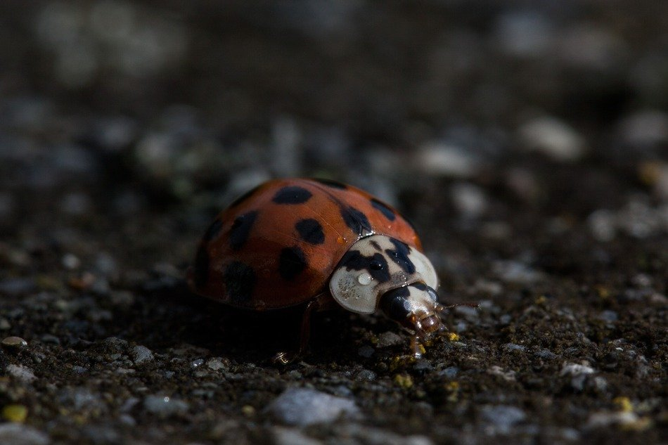 closeup of a ladybug on ground