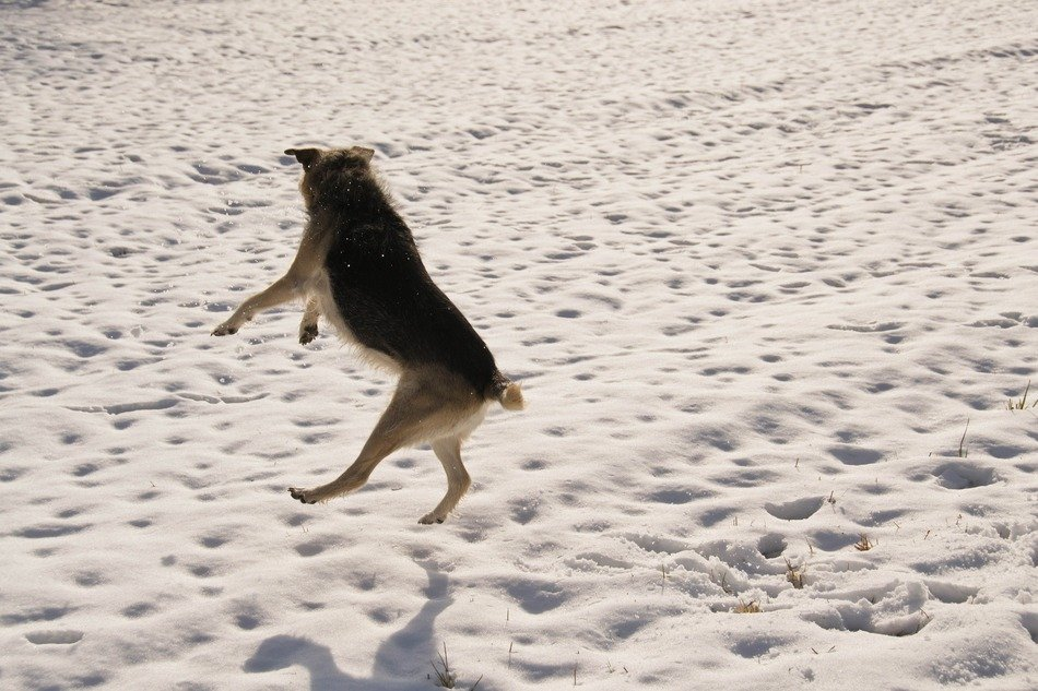 jumping dog on the snowy field