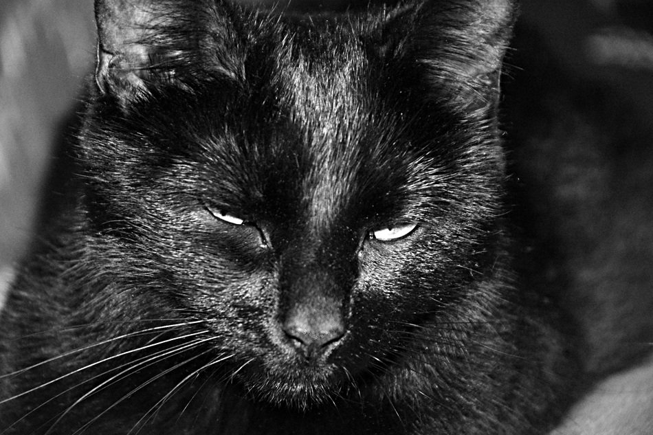 black cat in black and white