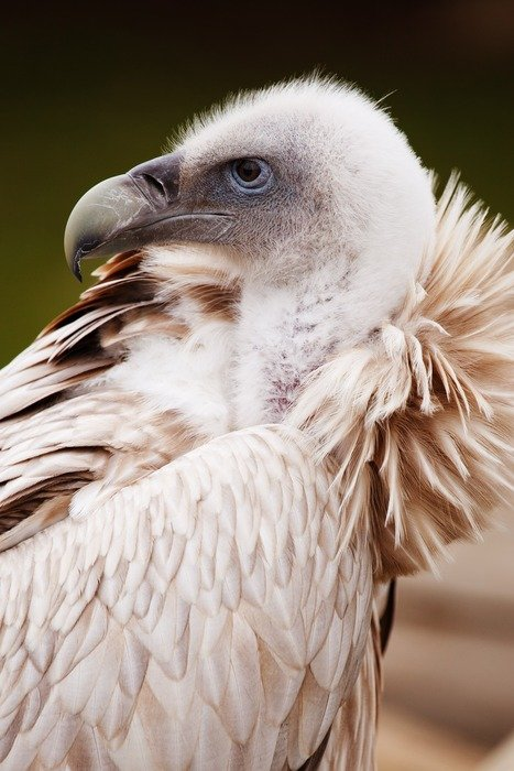 portrait of a formidable vulture
