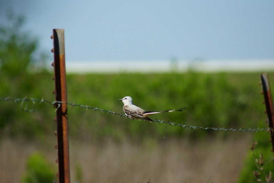 scissor tailed flycatcher on the fence