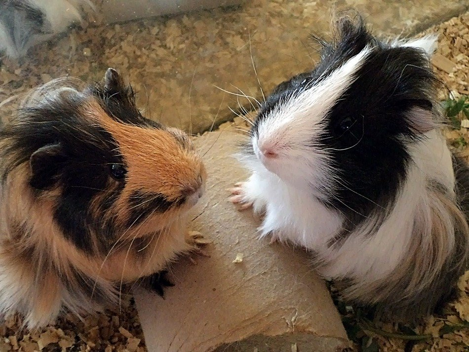 hairy guinea pigs
