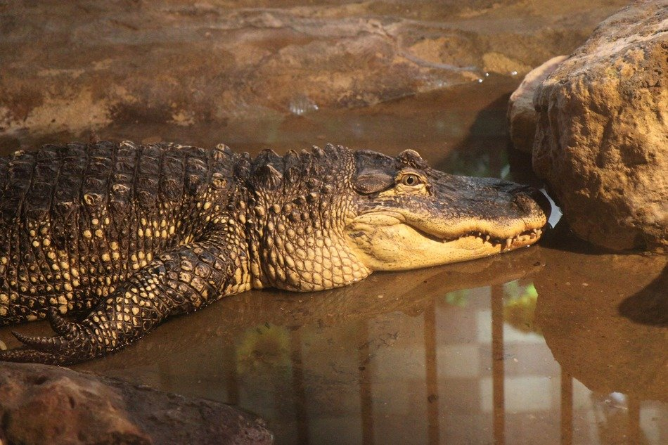 relaxed alligator in the evening