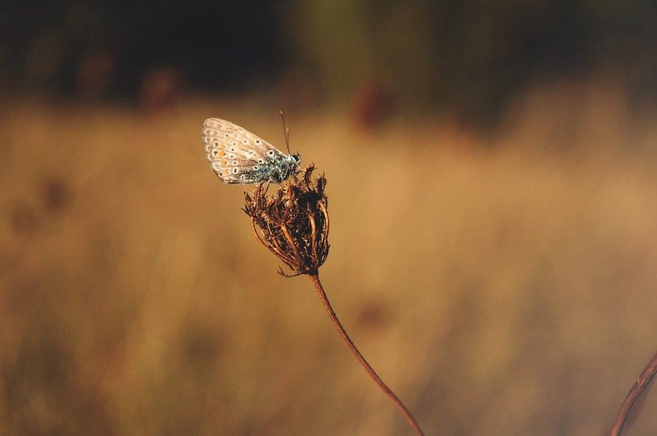 butterfly on the withered flower