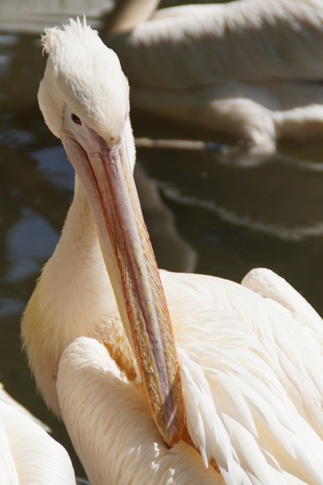 pelican cleaning plumage