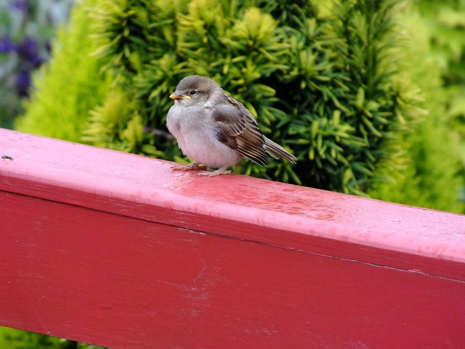 sparrow on the balcony
