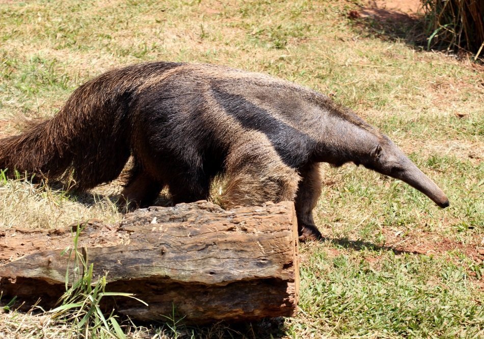 walking giant anteater