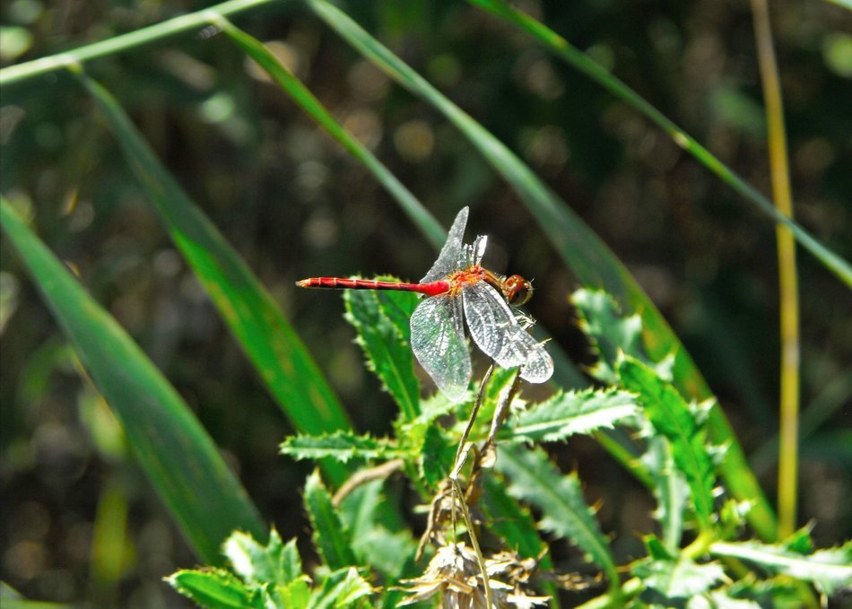 dragonfly in flight in green nature