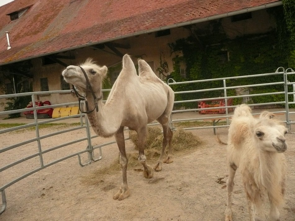 camels in freiburg