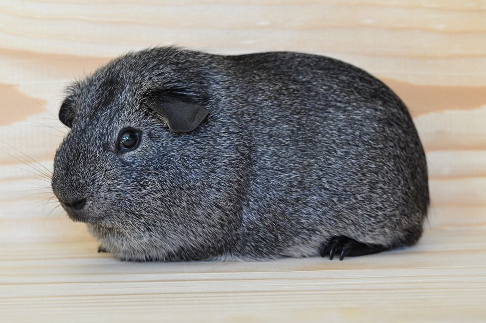 portrait of a sweet silver guinea pig