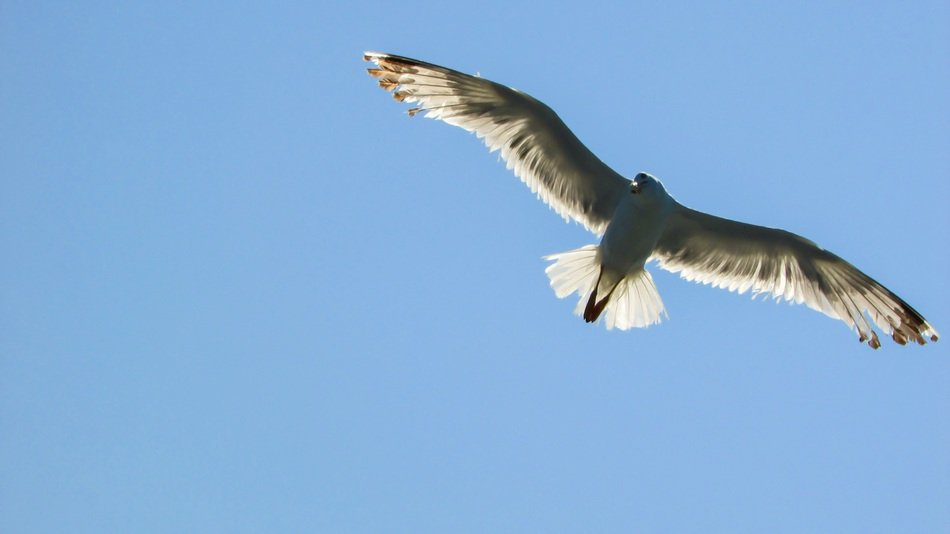 wing spread of a seagull
