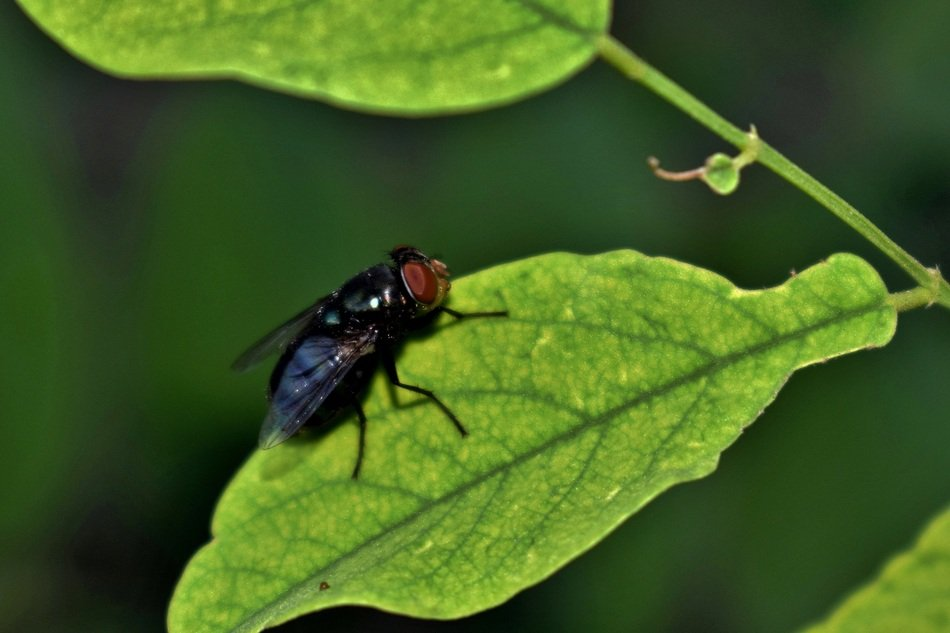 housefly on the green leaf