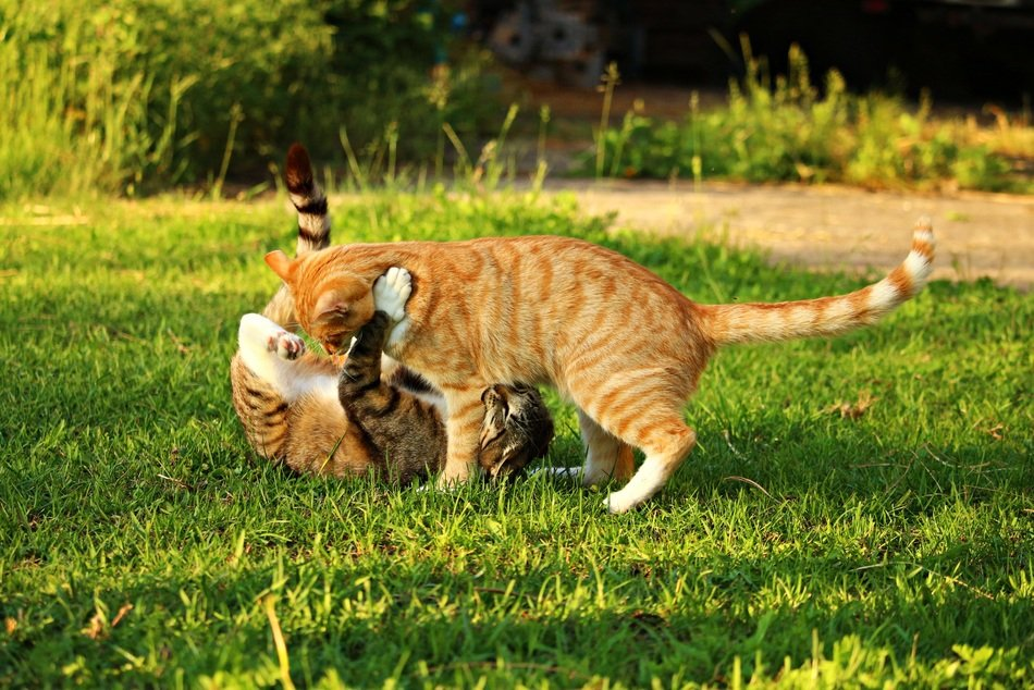 playful domestic cats on the meadow