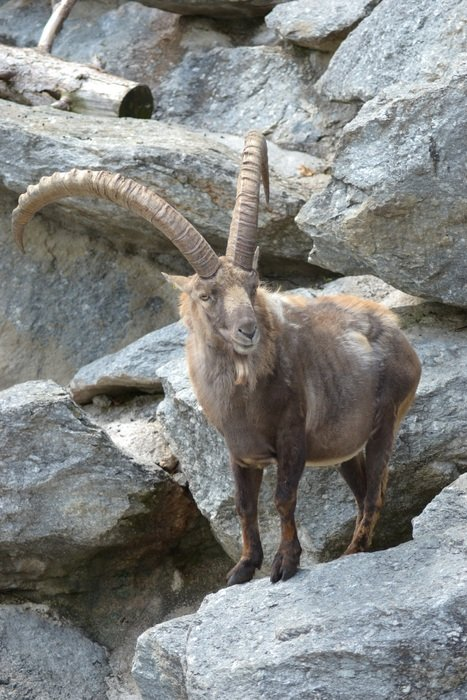 ibex in mountains