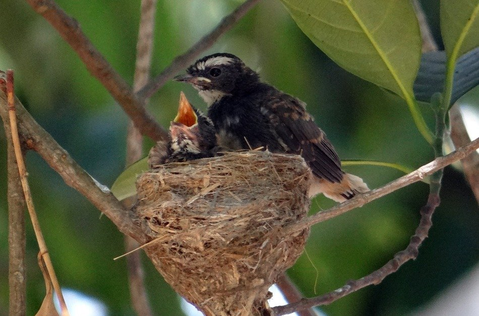 fledglings in the nest
