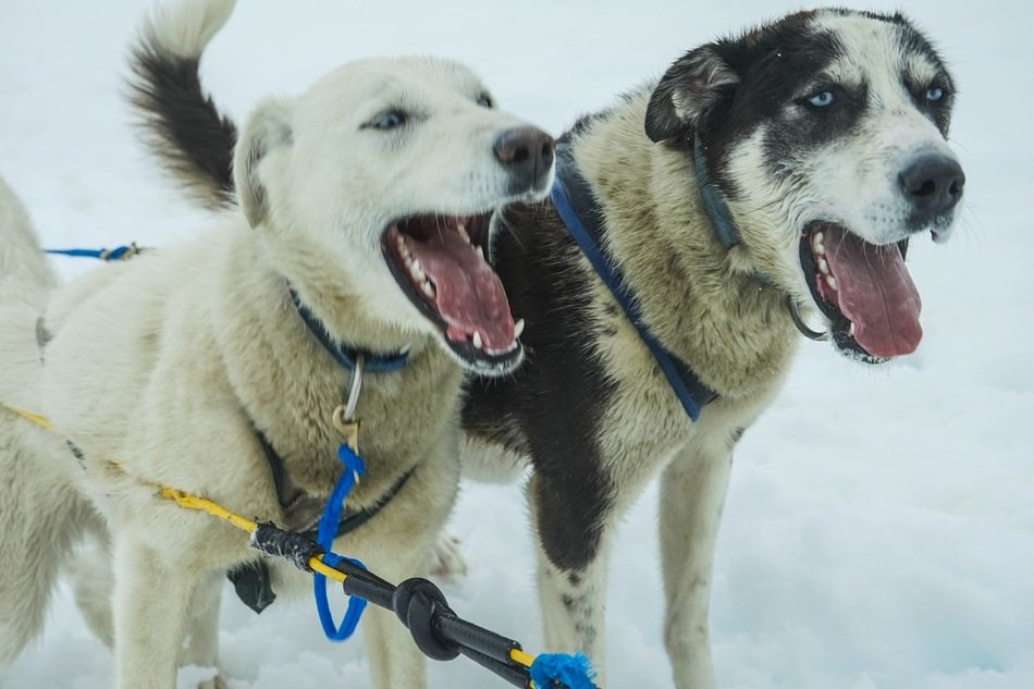 tired sled dogs