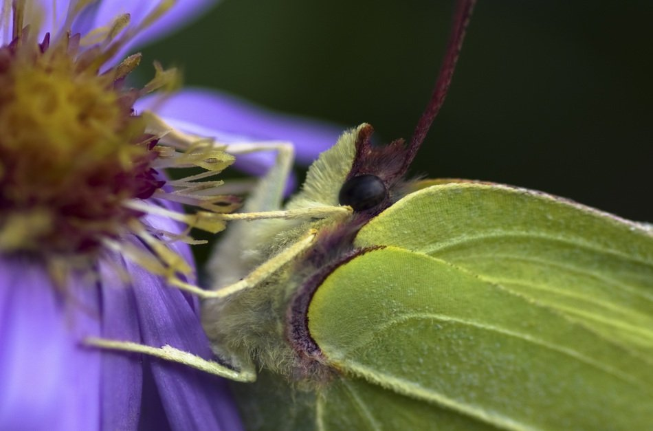 gonepteryx rhamni on the purple flower
