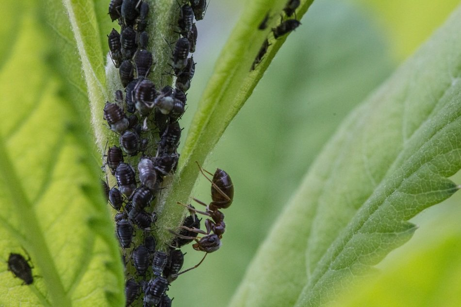 aphids on the plant