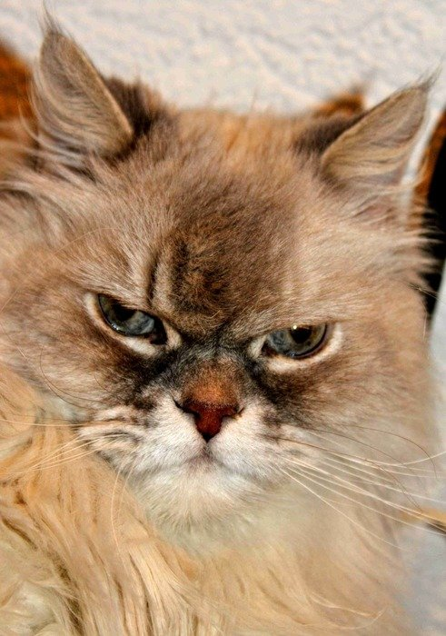 cat with grumpy face