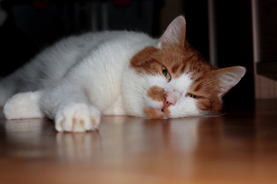 sleepy red and white cat